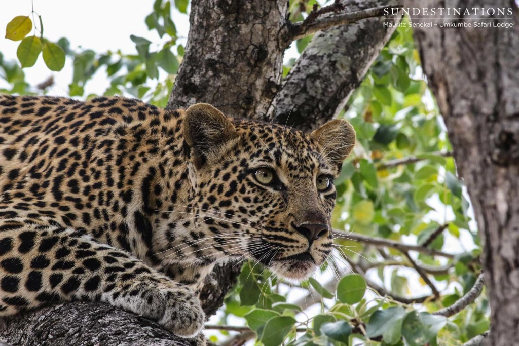 Hlarulini female leopard sends a penetrating glare across the veld from her spot in a marula tree