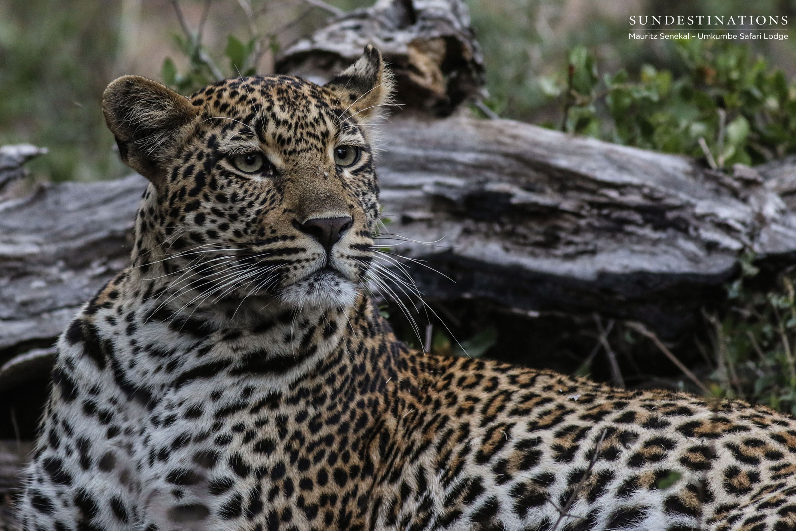 Portraits of Umkumbe's Leopardess Hlarulini