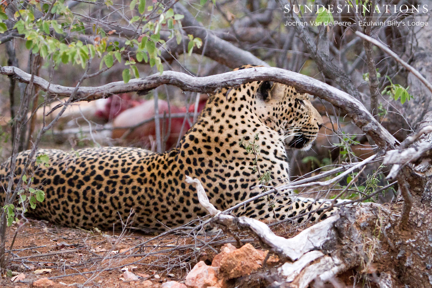 Chavaluthu Leopard