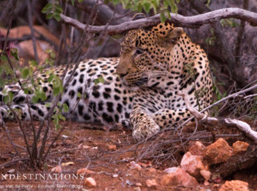 Chavaluthu is the blue-eyed leopard boy of the Balule and is often spotted on the Ezulwini traverse. Leopards are notoriously elusive creatures, choosing to hide in drainage lines during the day and conducting highly-specialised kills at night. Chavaluthu occasionally keeps a low profile, hiding out in the thickets and avoiding the limelight. But when he […]