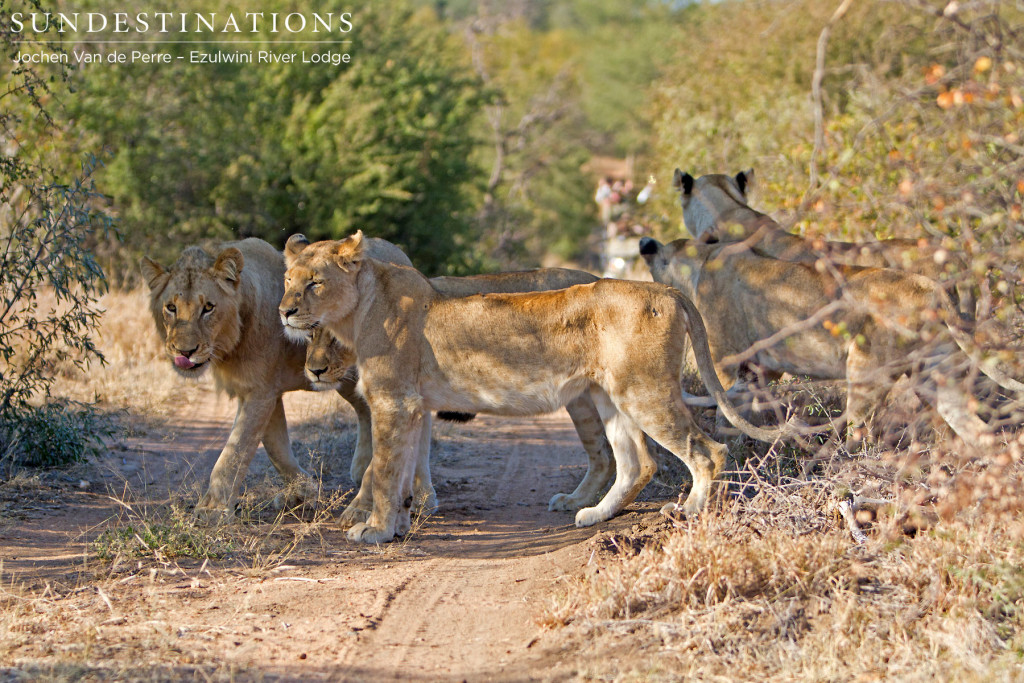 A young pride of lions crosses the road as Ezulwini guests approach from a distance