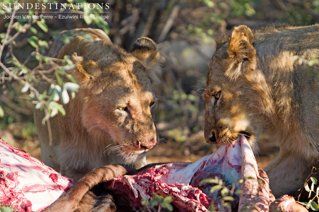 Two subadult male lions sharing a buffalo carcass