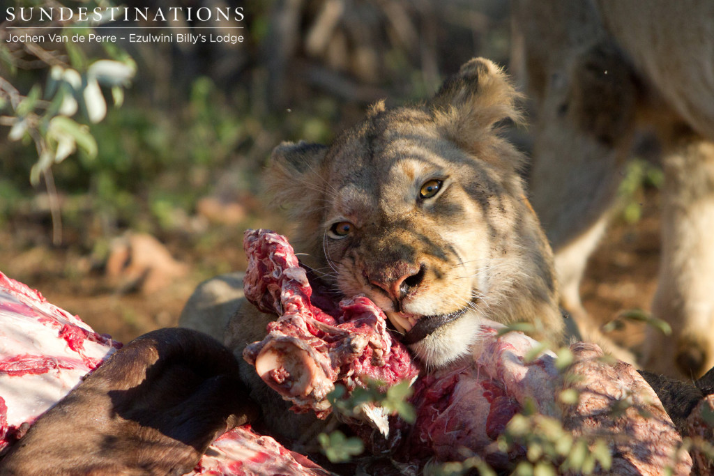 Young male Mohlabetsi lion feasting on buffalo kill