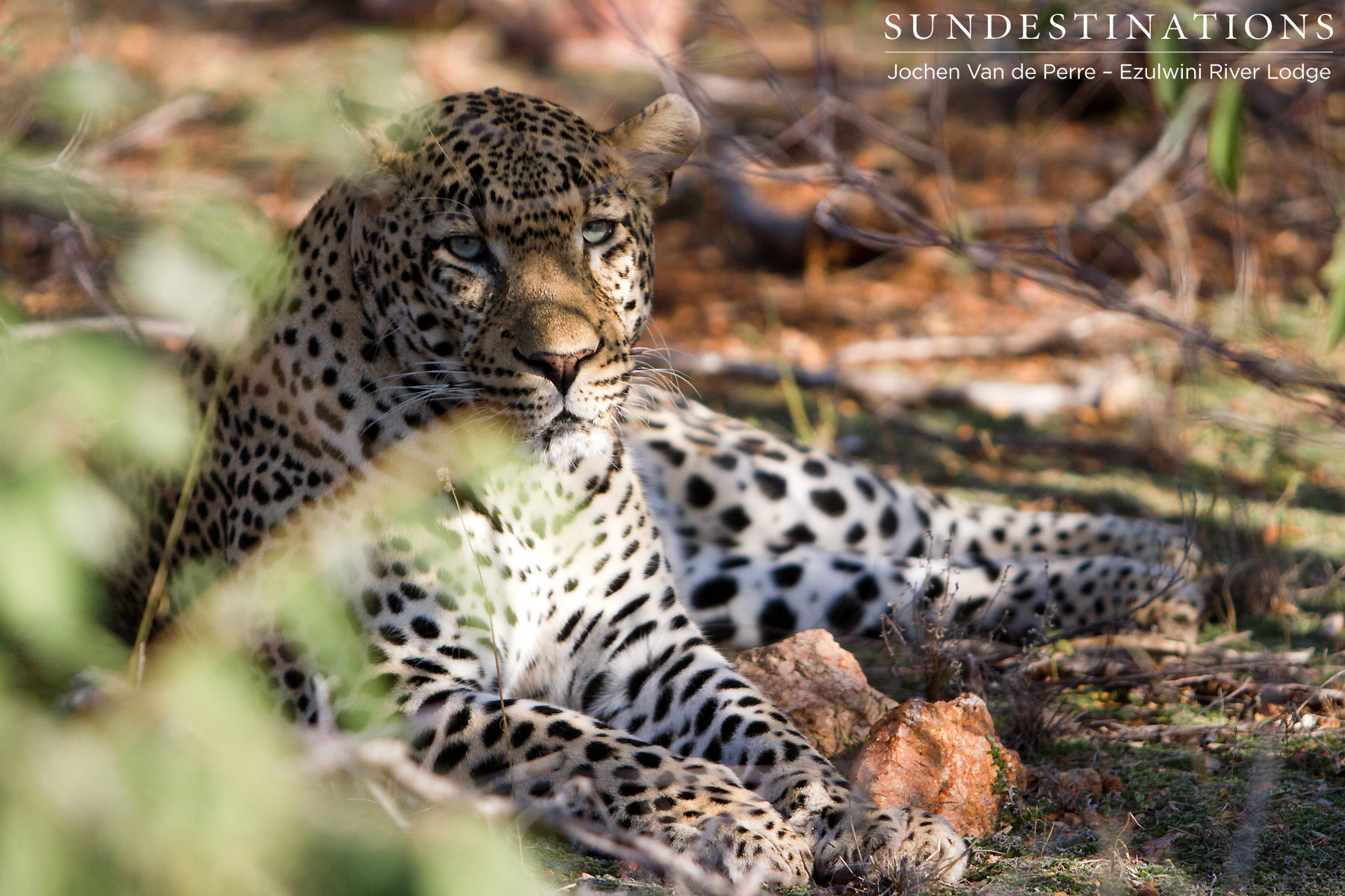Part 1: Ezulwini's Favourite Leopard Makes a Kill