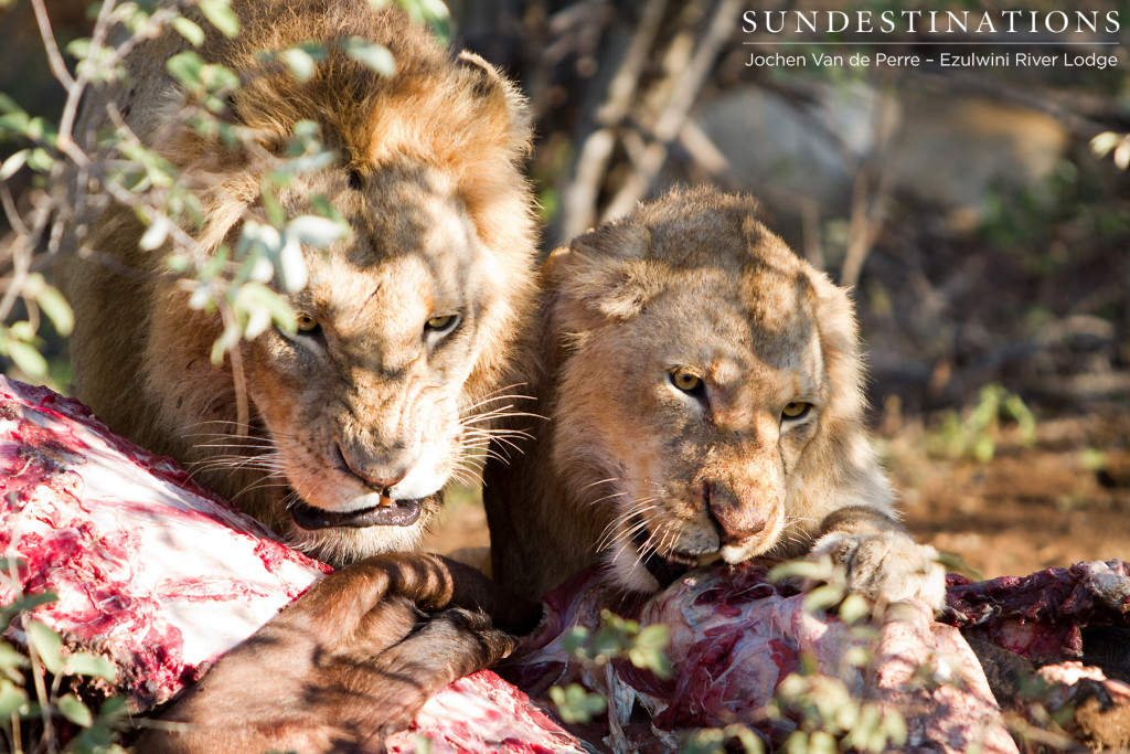 Tensions high between two male lions on a kill