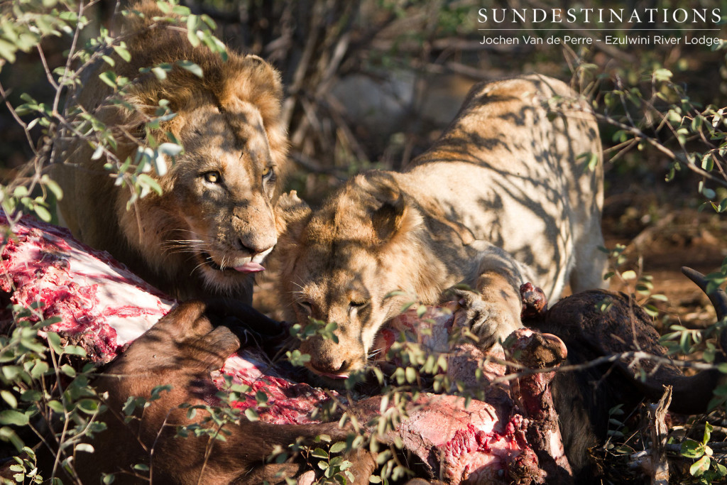 Male lions from Mohlabetsi Pride on buffalo kill