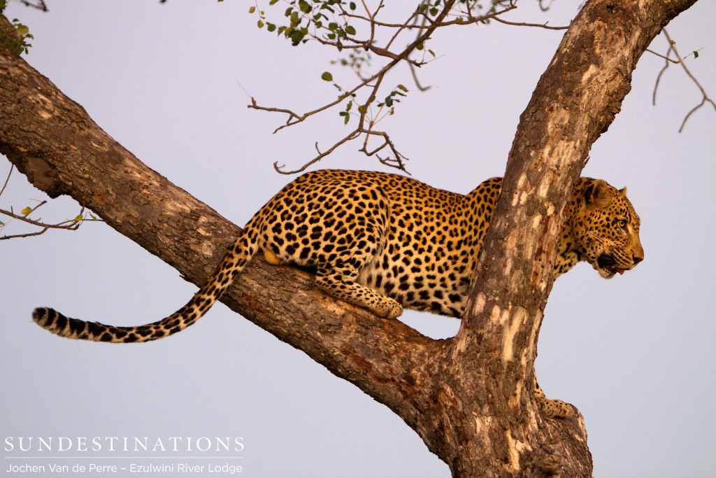 Chavaluthu male leopard poses gracefully in the fork of a marula tree as the sun shines its last light on him
