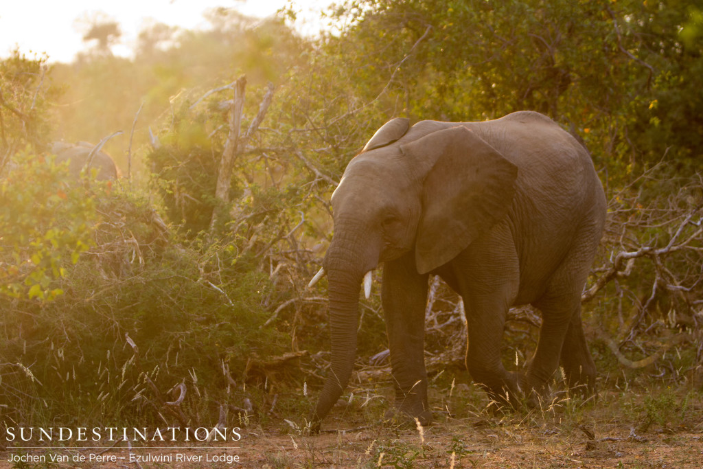 A herd of elephants moves through the bush and one catches the golden light of the afternoon