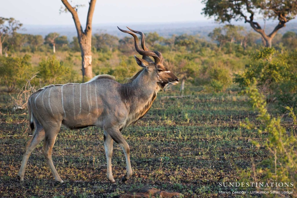 A regal kudu bull ambles across the open plain, showing off his spiralling horns