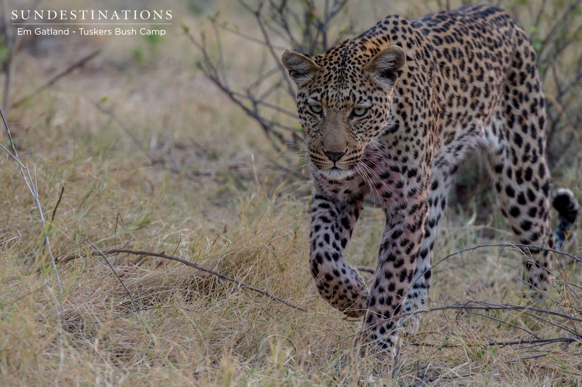 Leopard with Kill in Moremi Game Reserve