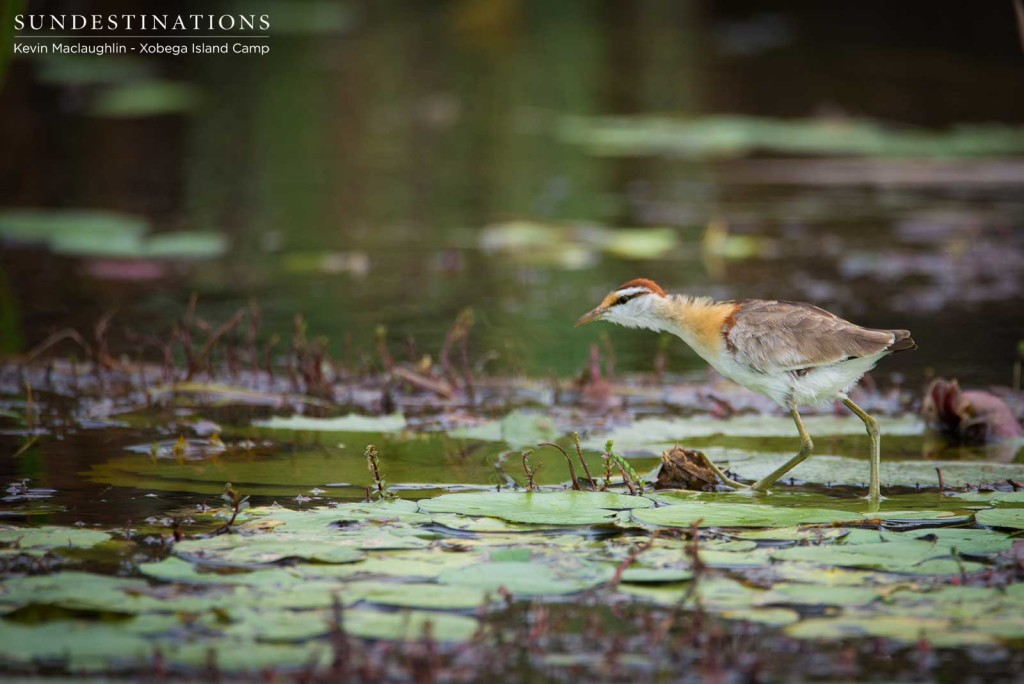 Lesser jacana walking on the Delta lily pads