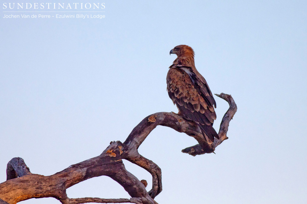 A handsome portrait of a tawny eagle as it surveys the surroundings