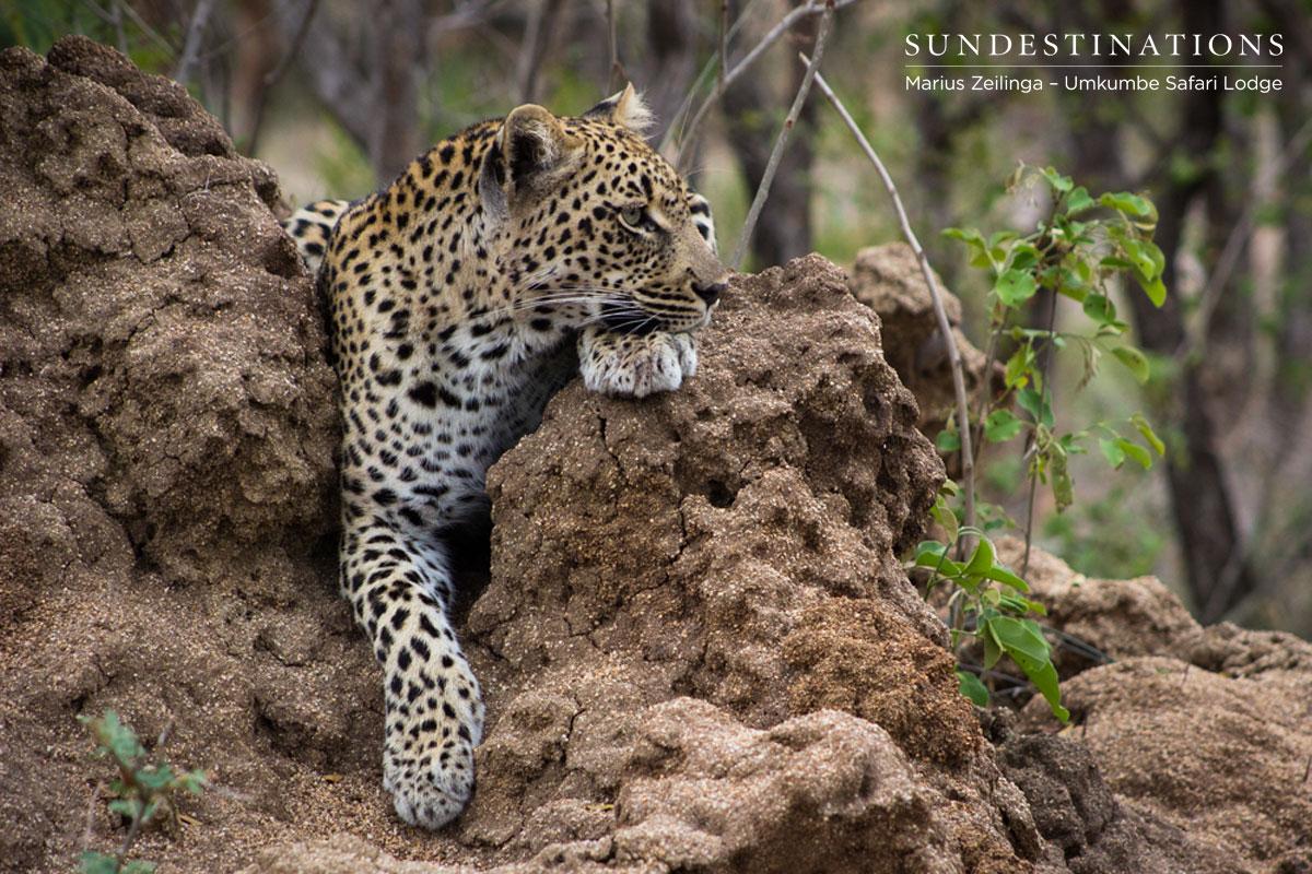 Marius Zeilinga's Phenomenal Umkumbe Leopard Update