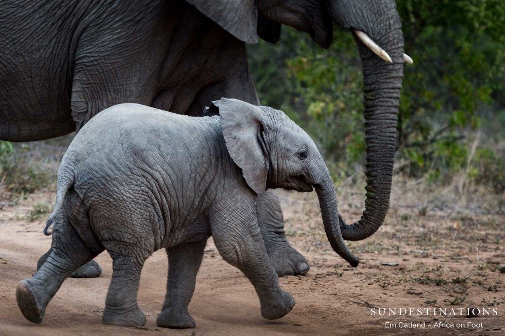 Baby elephant rushes across the open area at an adorable trot