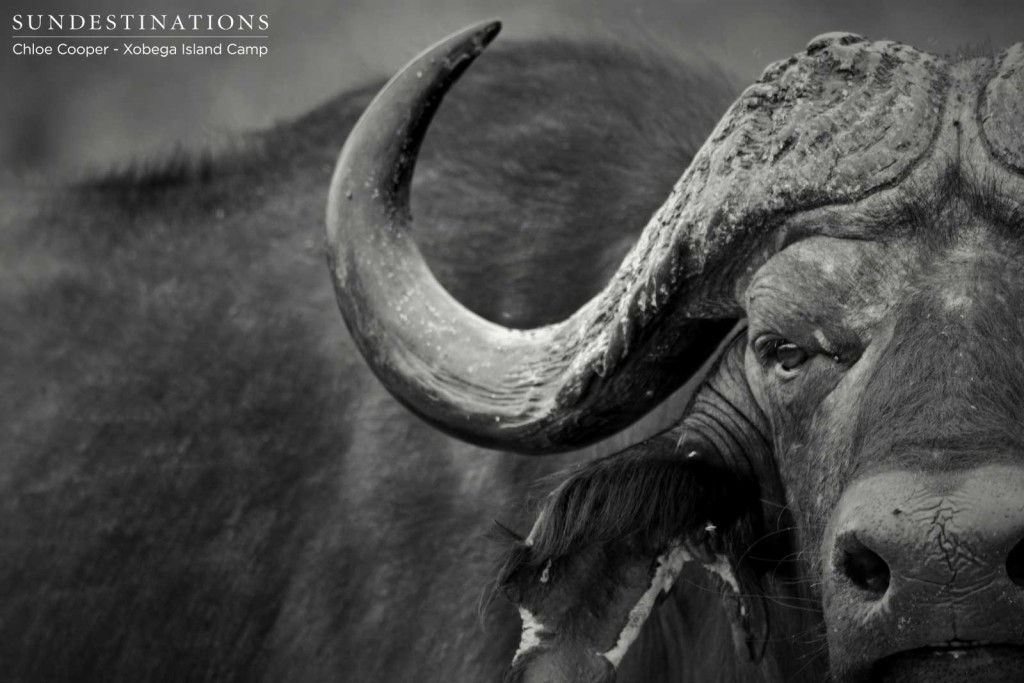 The ominous stare of a buffalo bull