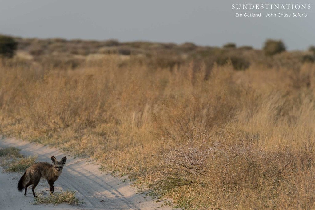 Bat-eared fox - a special sight in Deception Valley