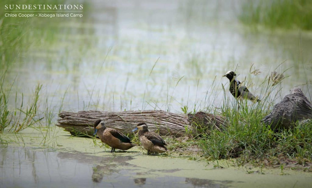 Hottentot teals and blacksmith lapwings