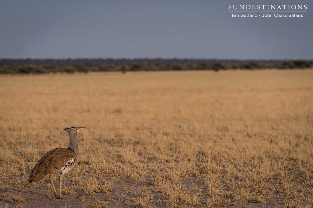 The world's heaviest flying bird, the kori bustard, elegant in the afternoon sun