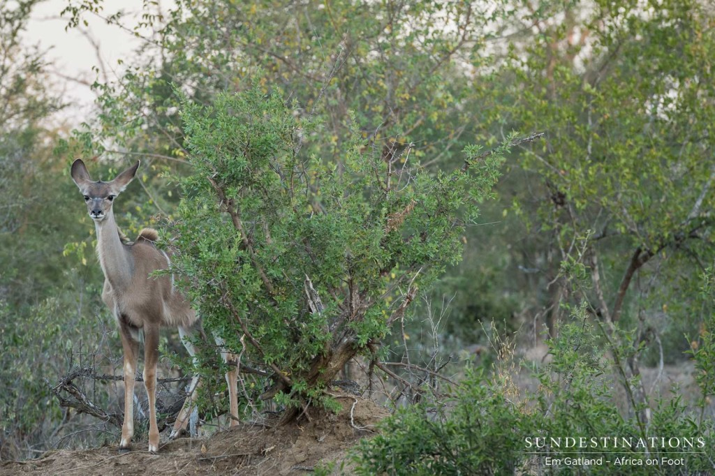 A young kudu stands shyly in the thicket just long enough to capture the moment before dashing off into the bush