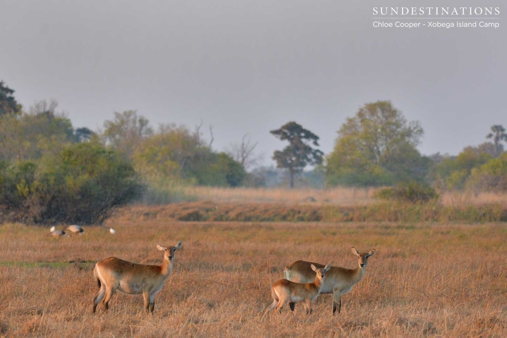 Lechwe family with wattled cranes in the background