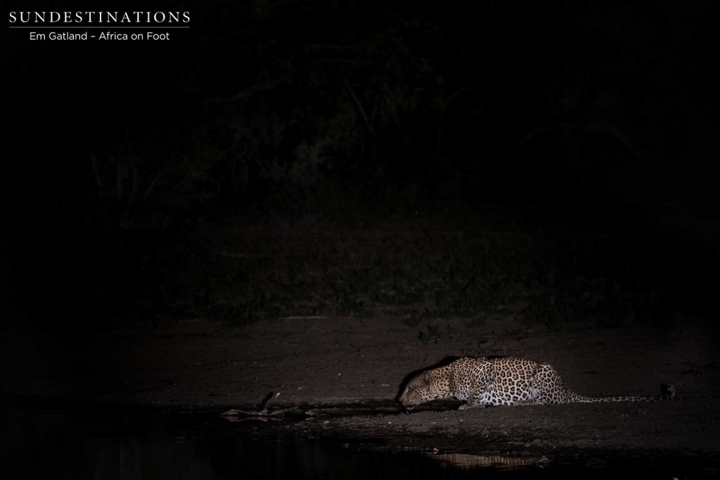 A leopard stops to drink at a pan after feasting on an impala kill in the Klaserie