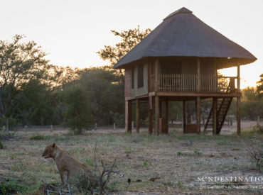 Isn't it fantastic whenyou're in the right place at the right time? Photographer Em Gatland was on assignment at Africa on Foot and nThambo Tree Camp when a lion pride took down a buffalo outside the wooden chalets at nThambo Tree Camp. The elephant herds, becoming somewhat jealous of the lions being in the spotlight, […]