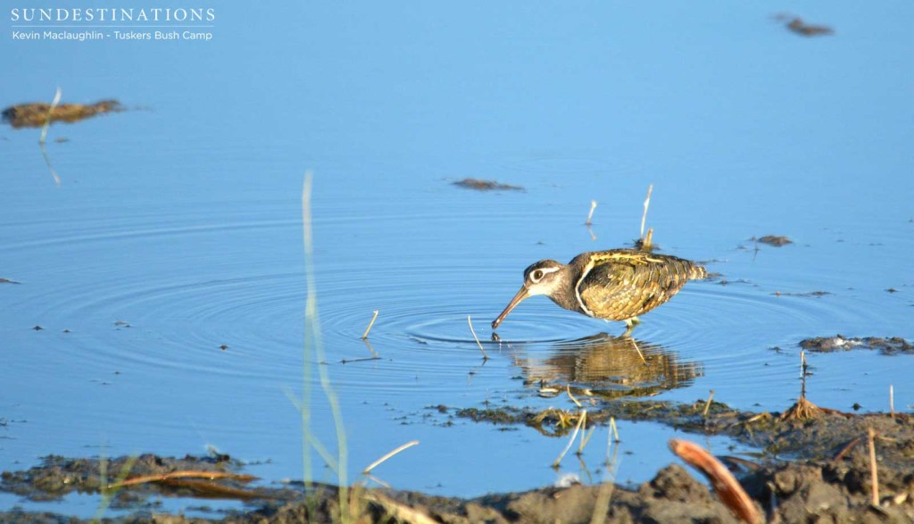 Male greater painted snipe at Tuskers Bush Camp