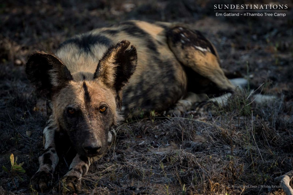 African wild dog gazes up at guests on a game viewer