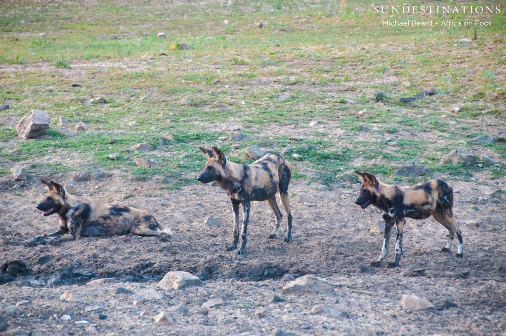 A pack of 3 African wild dogs currently in Klaserie
