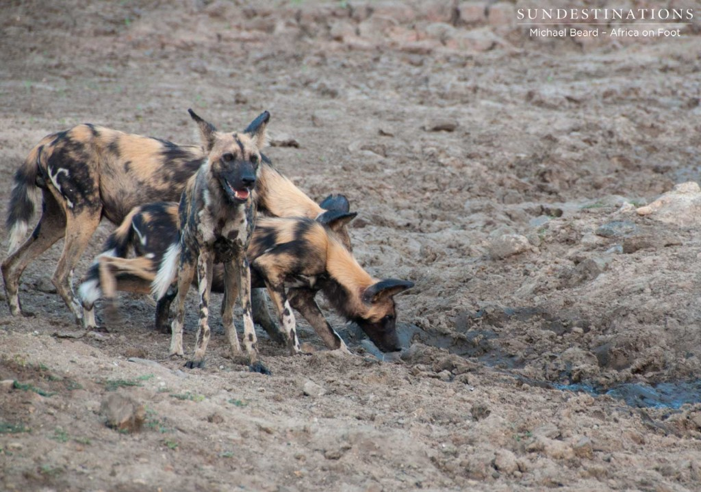 Wild dogs drinking from a muddy puddle