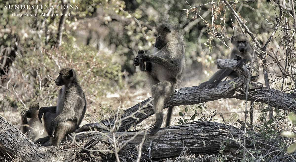 Africa On Foot Baboons