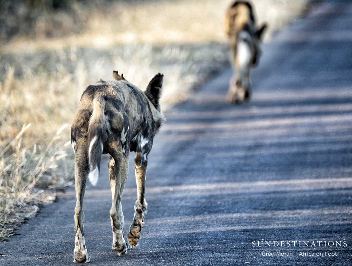 Africa On Foot Wild Dogs