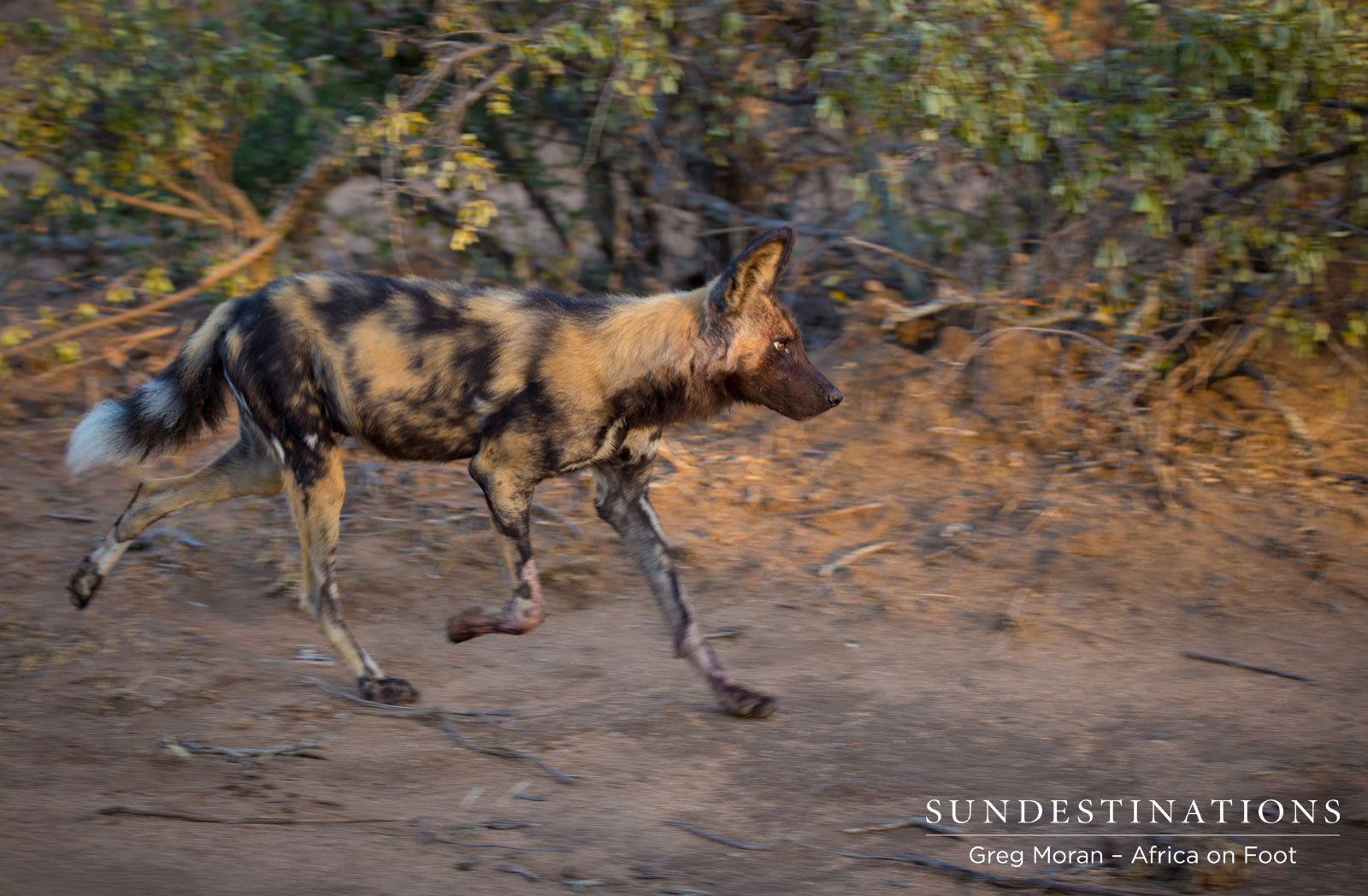 Africa On Foot Wild Dog