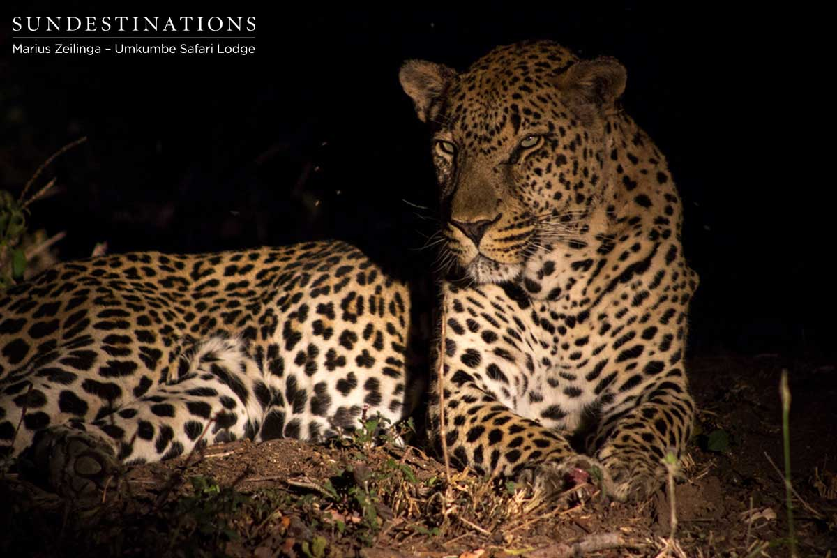 Umkumbe Leopards: Toms Dominate Recent Sightings