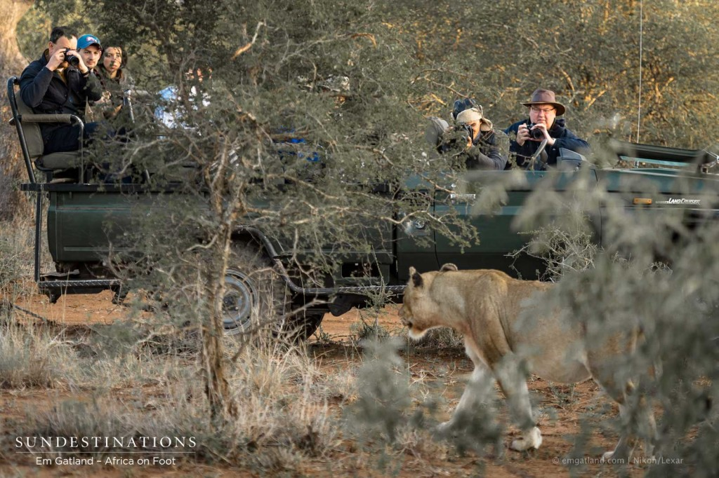 Ross Breakaway lioness strolled passed Africa on Foot vehicle