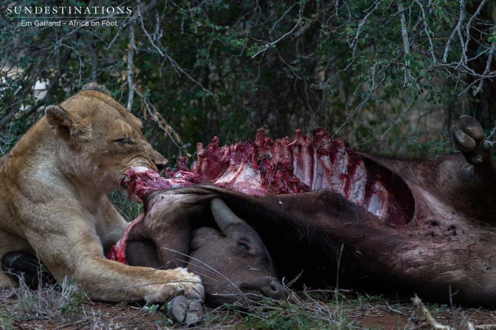A morbid, albeit natural image of a lioness feasting on her kill