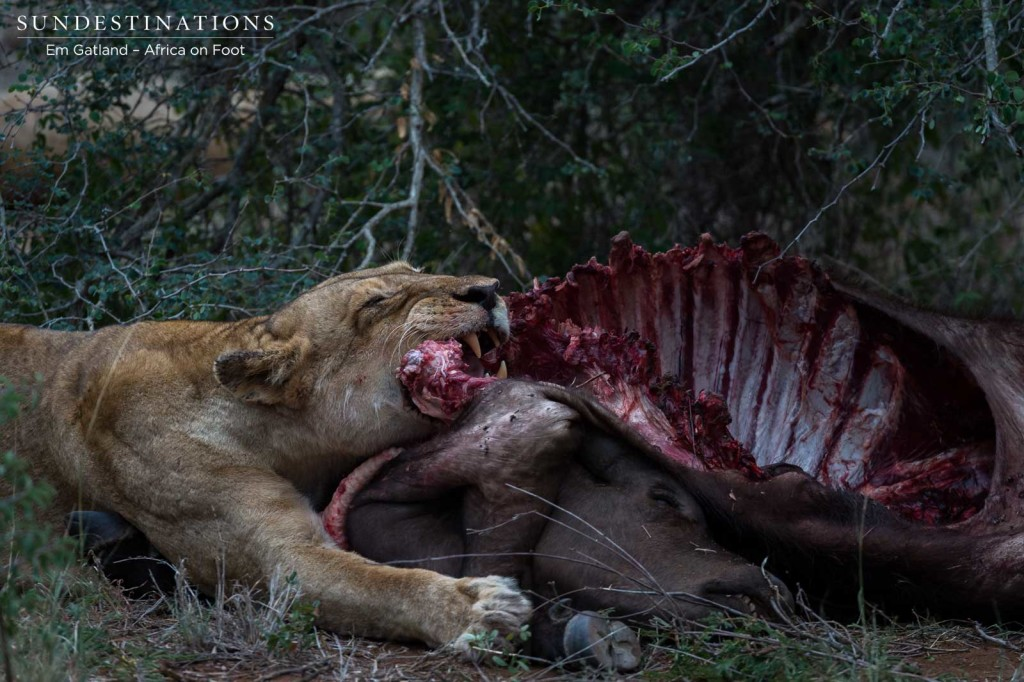 A buffalo calf provides much needed food for the lionesses