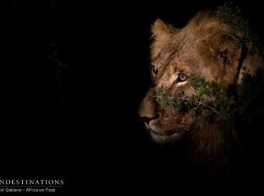 Earlier this month, we reported the presence of two unknown male lions intruding on what we know to be Trilogy lion territory. This pair of males entered the equation right in the middle of a tense couple of days, as the Mabande male (also a newcomer) had staked his claim by mating with the Ross […]