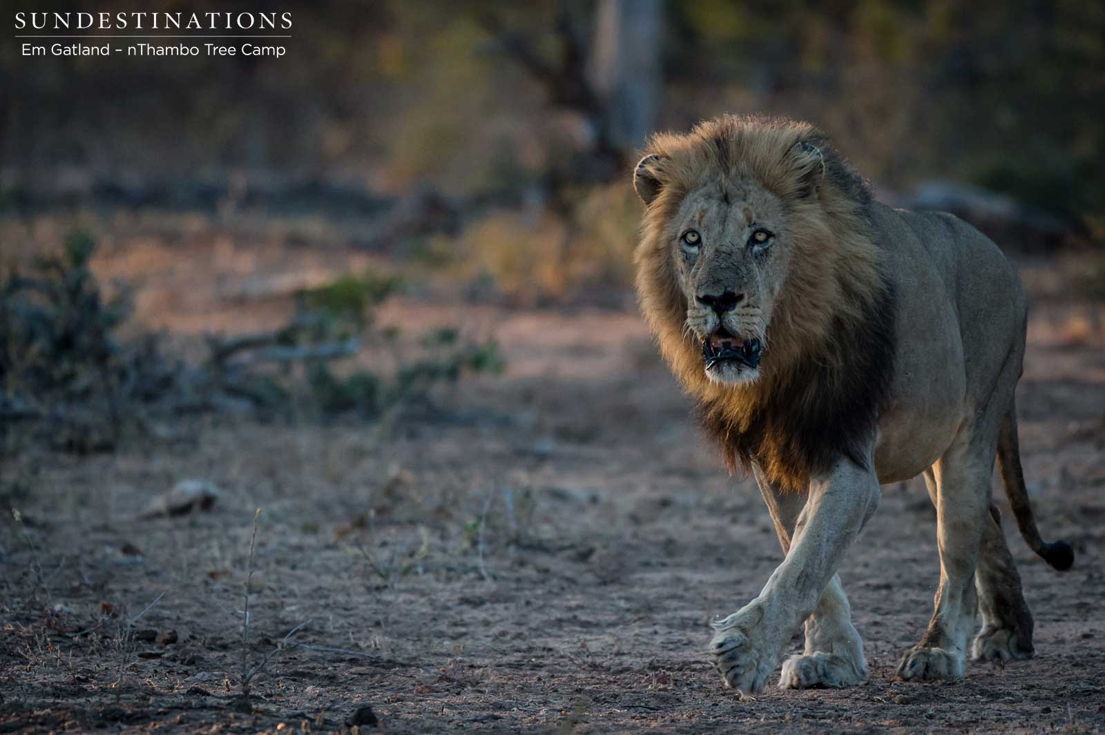 Trilogy Male Lions & Ross Breakaways Stalk Buffalo