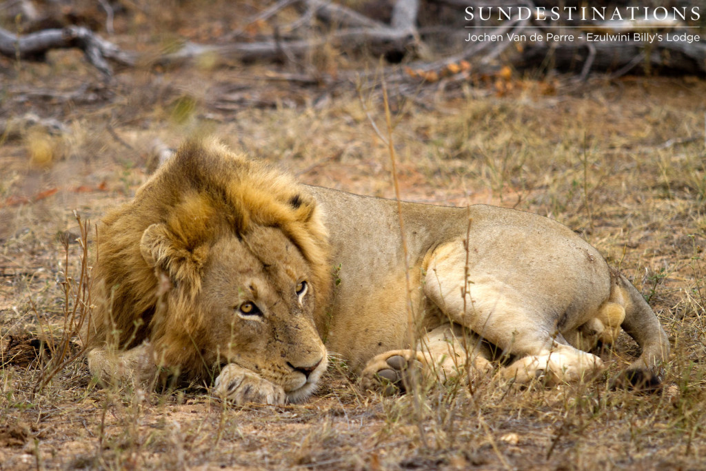 The male lion that was seen on Ezulwini River Lodge access road, thought to be of the Singwe Pride