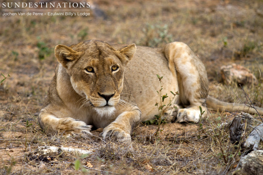 One lioness believed to belong to the Singwe Pride