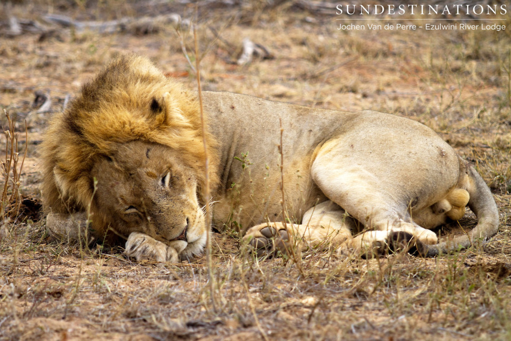 Lazy lion seen at Ezulwini River Lodge, believed to be Singwe Pride male