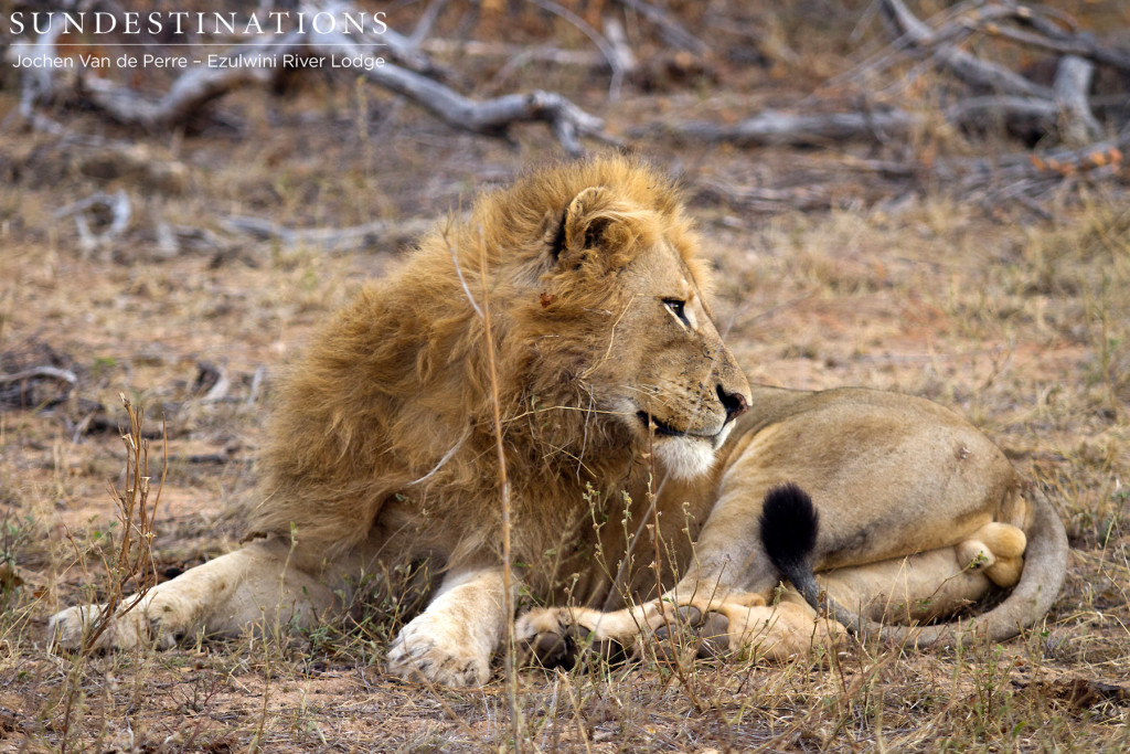Single male lion seen with 2 lionesses thought to be from Singwe Pride