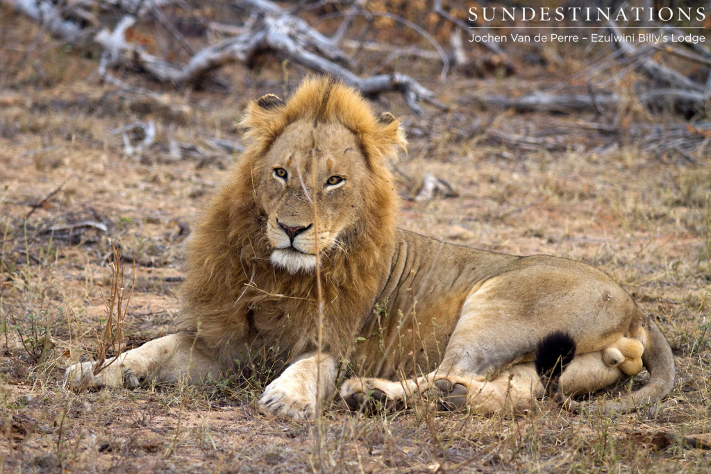 Unusual visitor: male lion believed to be part of the Singwe Pride seen at Ezulwini River Lodge