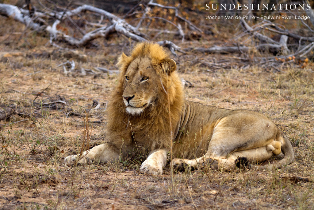 Assumed to be one of the Singwe male lions seen at Ezulwini River Lodge recently
