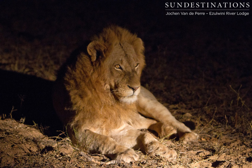 Male lion speculated to be from Singwe Pride