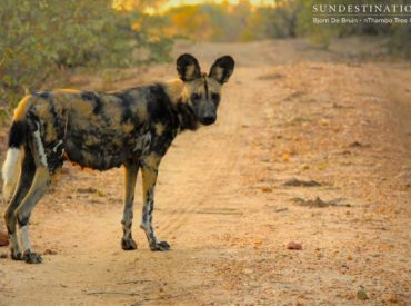 If you've been following our wildlife updates for long enough, you'll remember the excitement that surrounded the discovery of a wild dog den near Africa on Foot and nThambo Tree Camp almost a year ago. This is some sensational news, as we know these super predators are an endangered species, and we are lucky enough […]