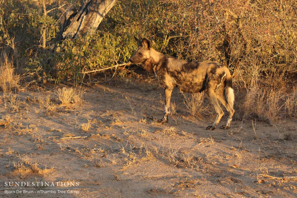 Active wild dogs in the afternoon