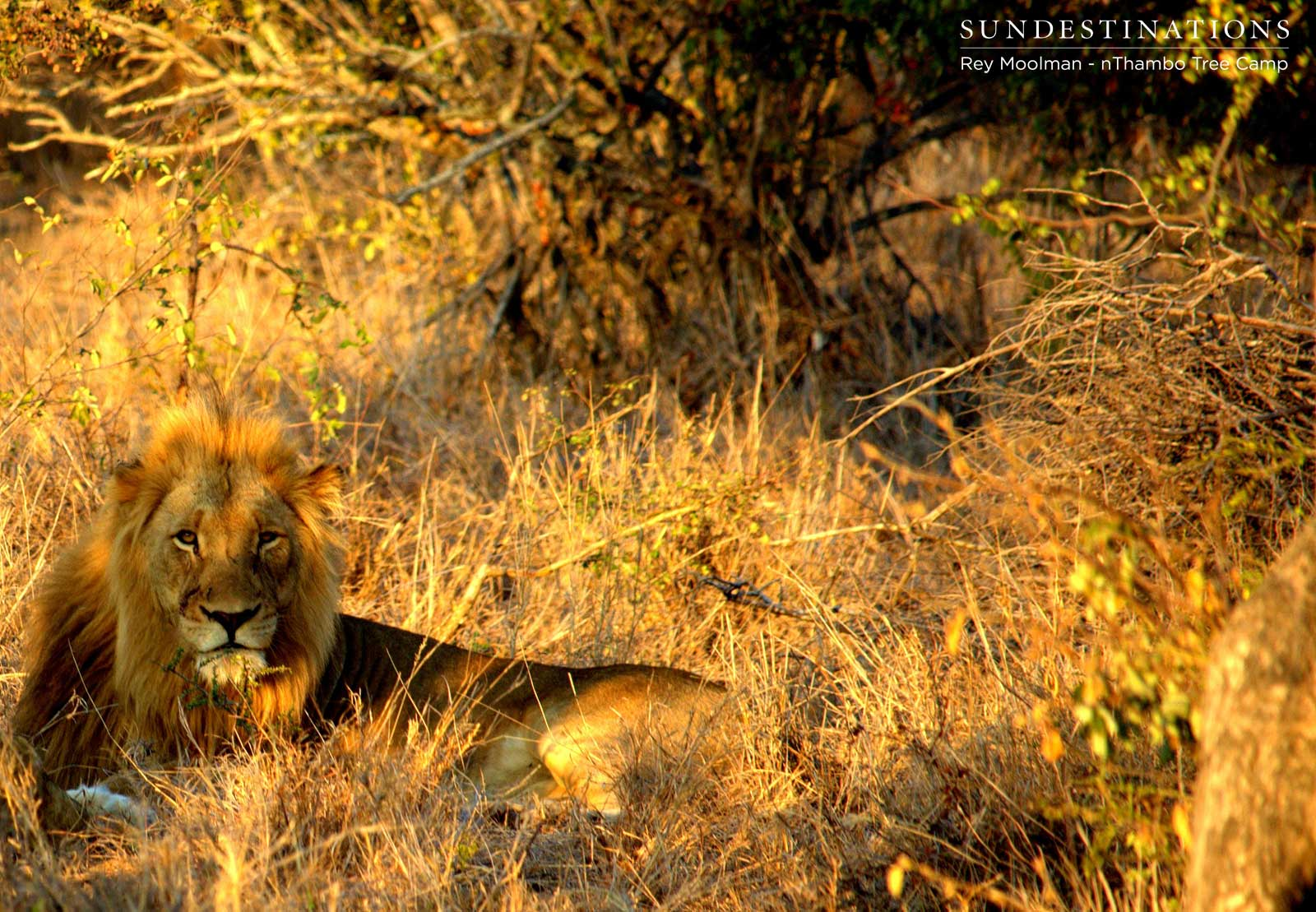 New Lions in Klaserie: Enter the Mapoza Males