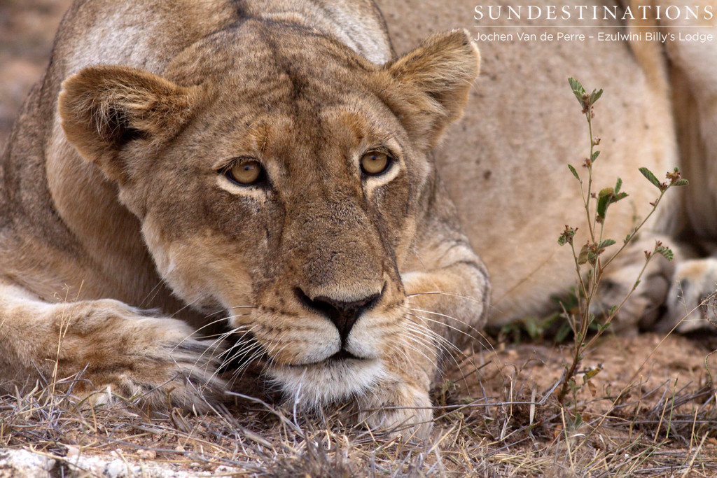 One of the two lionesses seen at Ezulwini River Lodge lately.